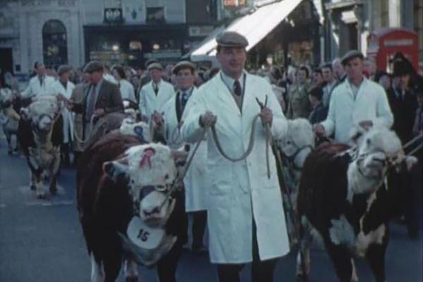 Image of cattle being led through the street.