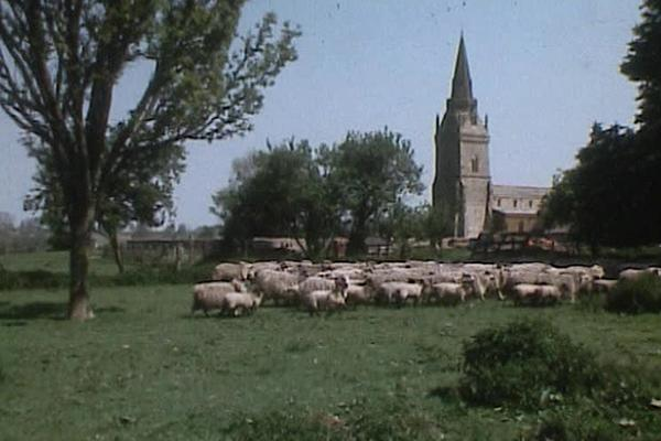 Image of the countryside with a herd of sheep and a church in the background.